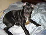 Собаки, щенки Кане Корсо, цена 7000 Грн., Фото