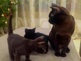 Кошки, котята Бурма, цена 7000 Грн., Фото