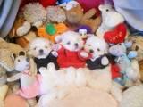 Собаки, щенки Мальтийская болонка, цена 8000 Грн., Фото
