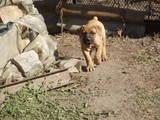 Собаки, щенята Південноафриканський Бурбуль, ціна 8000 Грн., Фото