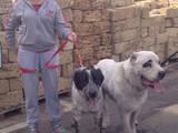 Собаки, щенята Середньоазіатська вівчарка, ціна 4000 Грн., Фото