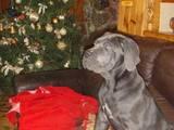 Собаки, щенки Кане Корсо, цена 5000 Грн., Фото