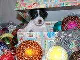Собаки, щенята Джек Рассел тер'єр, ціна 8000 Грн., Фото