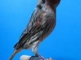 Попугаи и птицы Канарейки, цена 10 Грн., Фото