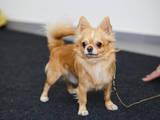 Собаки, щенки Чихуа-хуа, цена 2000 Грн., Фото