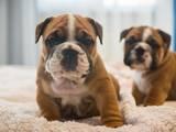 Собаки, щенки Английский бульдог, цена 25000 Грн., Фото