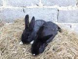 Грызуны Кролики, цена 270 Грн., Фото