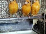 Попугаи и птицы Канарейки, цена 130 Грн., Фото