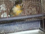 Папуги й птахи Канарки, ціна 130 Грн., Фото
