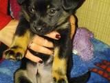 Собаки, щенята Карликовий пінчер, ціна 400 Грн., Фото