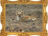 Собаки, щенята Чихуа-хуа, ціна 5000 Грн., Фото