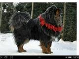 Собаки, щенки Тибетский мастиф, цена 11 Грн., Фото