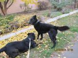 Собаки, щенята Різеншнауцер, ціна 1 Грн., Фото