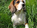 Собаки, щенята Бігль, ціна 5500 Грн., Фото