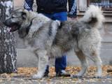 Собаки, щенята Кавказька вівчарка, ціна 7000 Грн., Фото