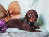 Собаки, щенки Гладкошерстная такса, цена 3500 Грн., Фото