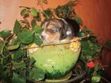 Собаки, щенки Бигль, цена 12000 Грн., Фото