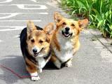 Собаки, щенки Вельш корги пемброк, цена 28000 Грн., Фото