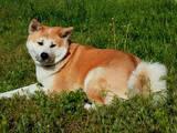 Собаки, щенята Акіта-іну, ціна 20000 Грн., Фото