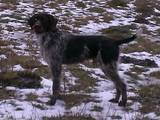 Собаки, щенки Немецкая жесткошерстная легавая, Фото