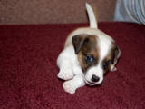 Собаки, щенки Джек Рассел терьер, цена 5500 Грн., Фото