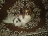 Собаки, щенята Папільон, Фото