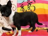 Собаки, щенки Чихуа-хуа, цена 27000 Грн., Фото