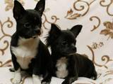 Собаки, щенки Чихуа-хуа, цена 16000 Грн., Фото