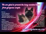 Собаки, щенки Американский акита, цена 26000 Грн., Фото