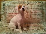 Собаки, щенки Джек Рассел терьер, цена 6000 Грн., Фото