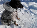 Собаки, щенки Карликовый пинчер, Фото