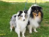 Собаки, щенята Шелті, ціна 6000 Грн., Фото