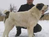 Собаки, щенки Среднеазиатская овчарка, цена 20000 Грн., Фото