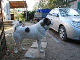 Собаки, щенки Среднеазиатская овчарка, цена 500 Грн., Фото