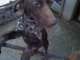 Собаки, щенята Німецька гладкошерста лягава, ціна 8000 Грн., Фото