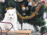 Собаки, щенята Самоїдом, ціна 6000 Грн., Фото