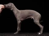 Собаки, щенята Левретка, ціна 20000 Грн., Фото