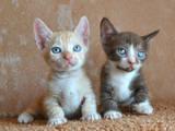 Кошки, котята Манчкин, цена 4000 Грн., Фото