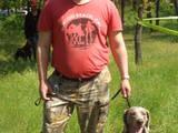 Собаки, щенки Веймарская легавая, цена 10000 Грн., Фото