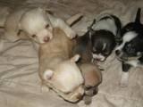 Собаки, щенки Русский гладкошерстный тойтерьер, цена 700 Грн., Фото