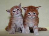 Кішки, кошенята Мейн-кун, ціна 18000 Грн., Фото