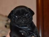 Собаки, щенята Мопс, ціна 8000 Грн., Фото