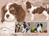 Собаки, щенки Кавалер-Кинг-Чарльз спаниель, цена 36000 Грн., Фото