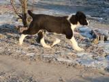 Собаки, щенки Среднеазиатская овчарка, цена 5000 Грн., Фото