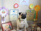 Собаки, щенки Мопс, цена 2500 Грн., Фото