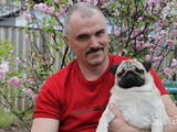 Собаки, щенята Мопс, ціна 2500 Грн., Фото