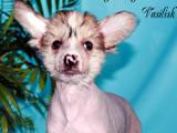 Собаки, щенята Китайська чубата собака, ціна 23500 Грн., Фото
