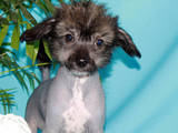 Собаки, щенки Китайская хохлатая собака, цена 23500 Грн., Фото