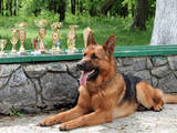 Собаки, щенята Німецька вівчарка, Фото