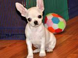 Собаки, щенята Чихуа-хуа, ціна 4500 Грн., Фото